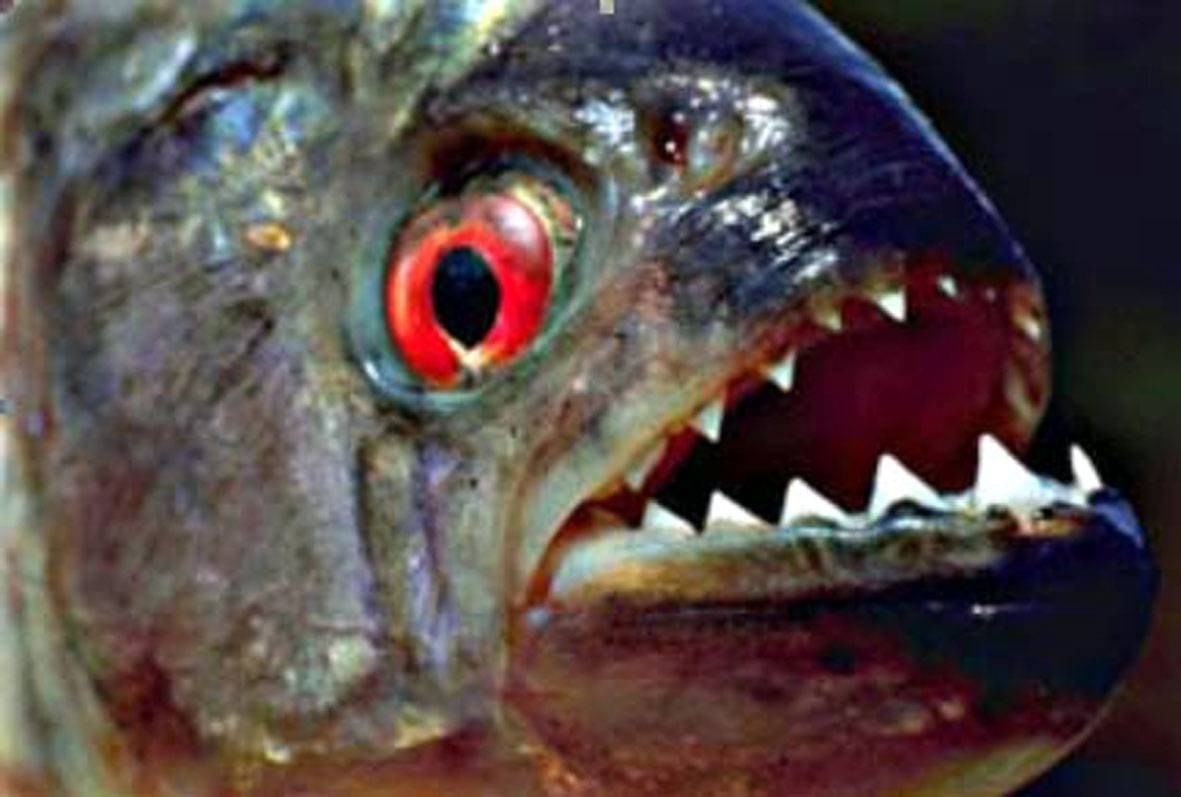 9 Largest Fish Ever Caught moreover Album 08 moreover Monsters Of Deep also Amazon 20River 202 furthermore Fly Fishing For Monster Fish Arapaima Redtail Catfish Alligator Gar. on arapaima fish bite